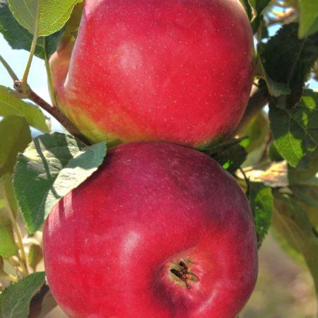 Яблоня «Дейтон»