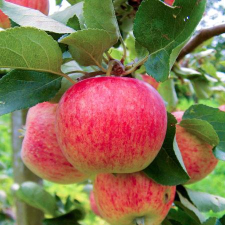 Яблоня «Пирос»