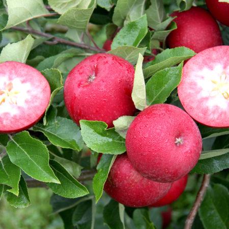 Яблоня «Джеромни»