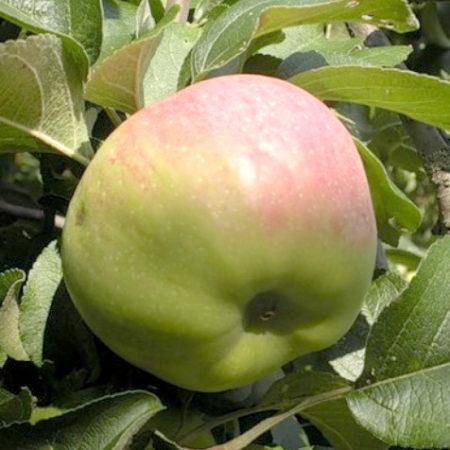 Яблоня «Гайя»