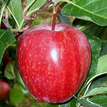 Яблоня «Гала Брукфильд»