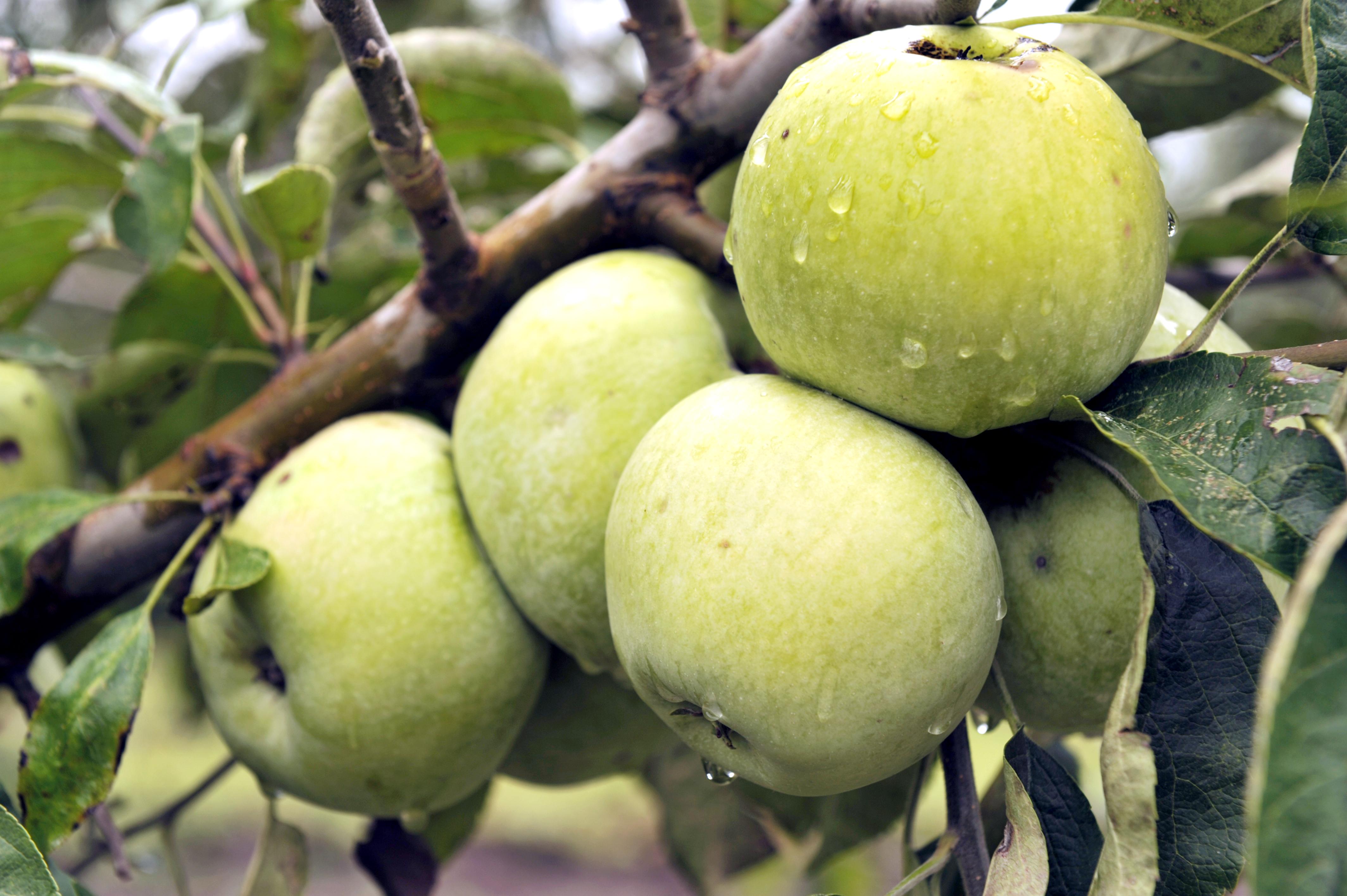 Ренет татарский яблоня фото