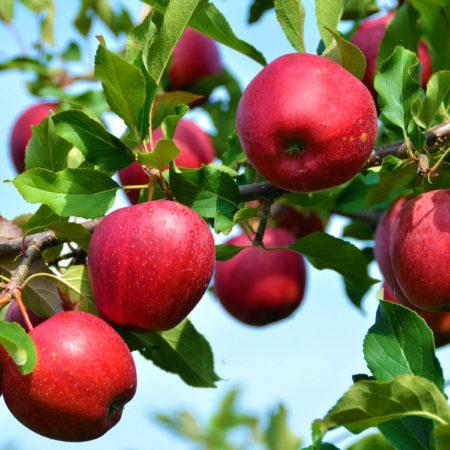 Яблоня «Моди»