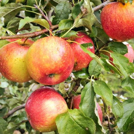 Яблоня «Пинова»