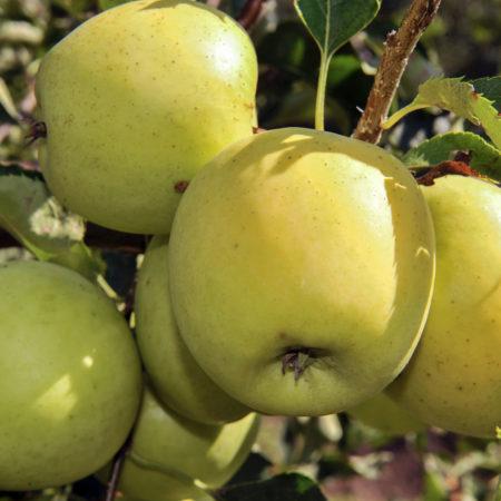 Яблоня «Голден Резистент»
