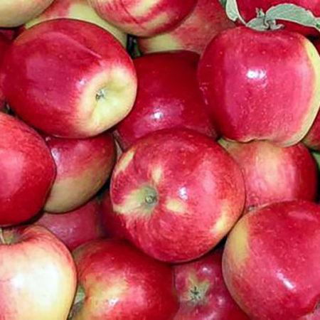 Яблоня «Амброзия»
