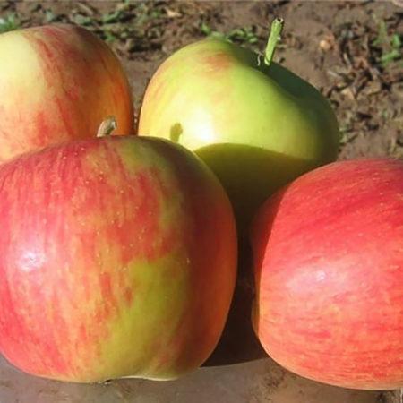 Яблоня «Целеста»