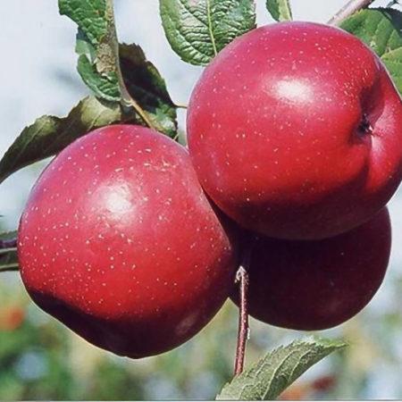 Яблоня «Фуджи Ацтек»
