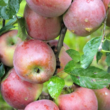 Яблоня «Интерпрайз»