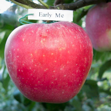 Яблоня «Эрли Мак»