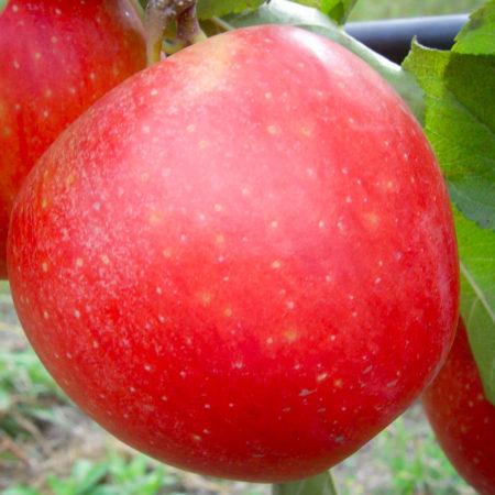 Яблоня «Эвелина»