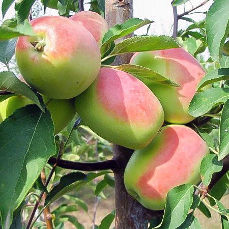 Яблоня «Кандиль Синап»
