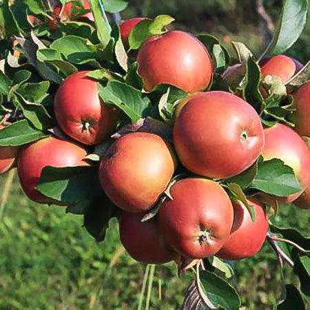 Яблоня «Казачка»