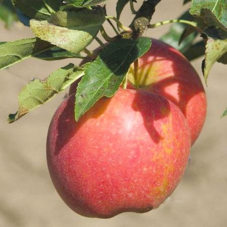 Яблоня «Прикубанское»