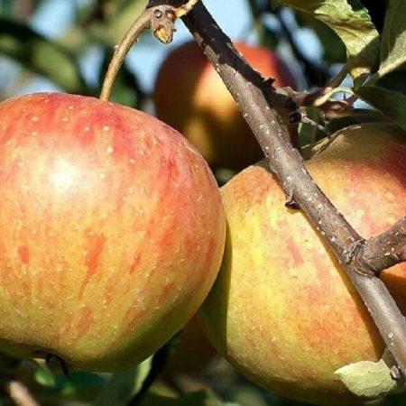 Яблоня «Рубинетте Россо»