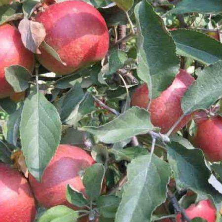 Яблоня «Щедрость»