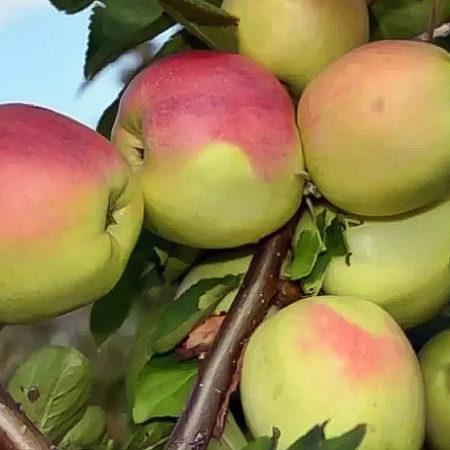 Яблоня «Столбовка»