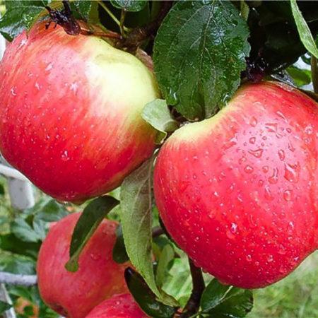 Яблоня «Женева Эрли»