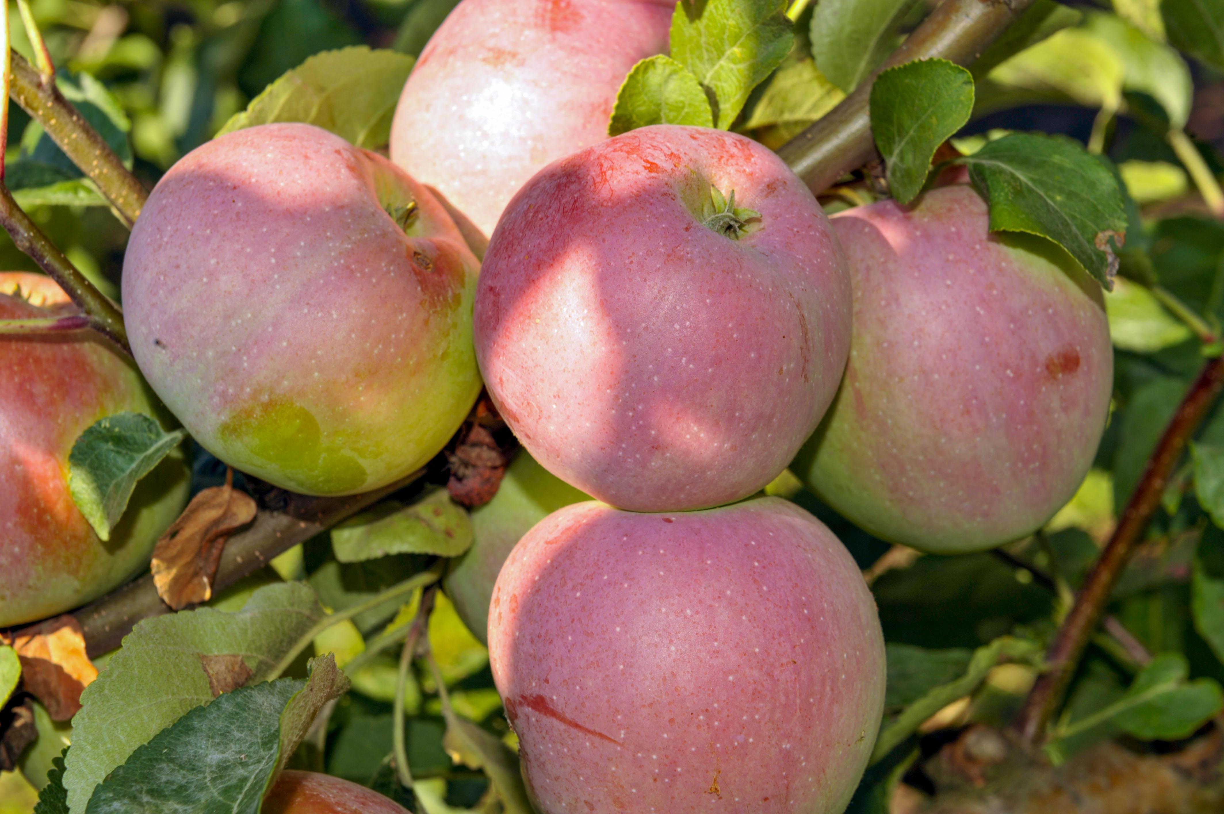 сорта яблок либерти фото и описание будни там очень